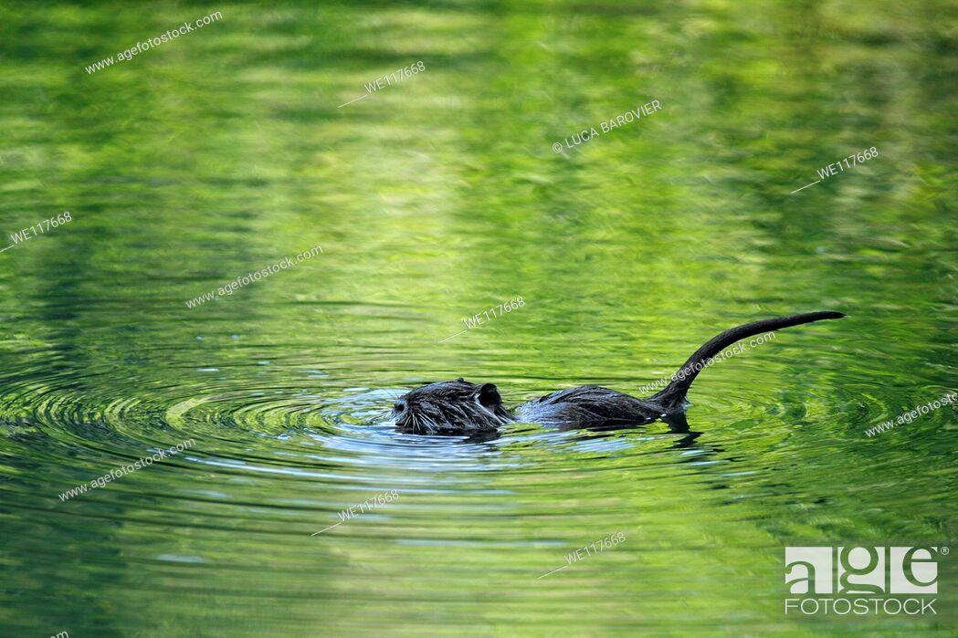 Stock Photo: Nutria - Coypu puppy swimming.