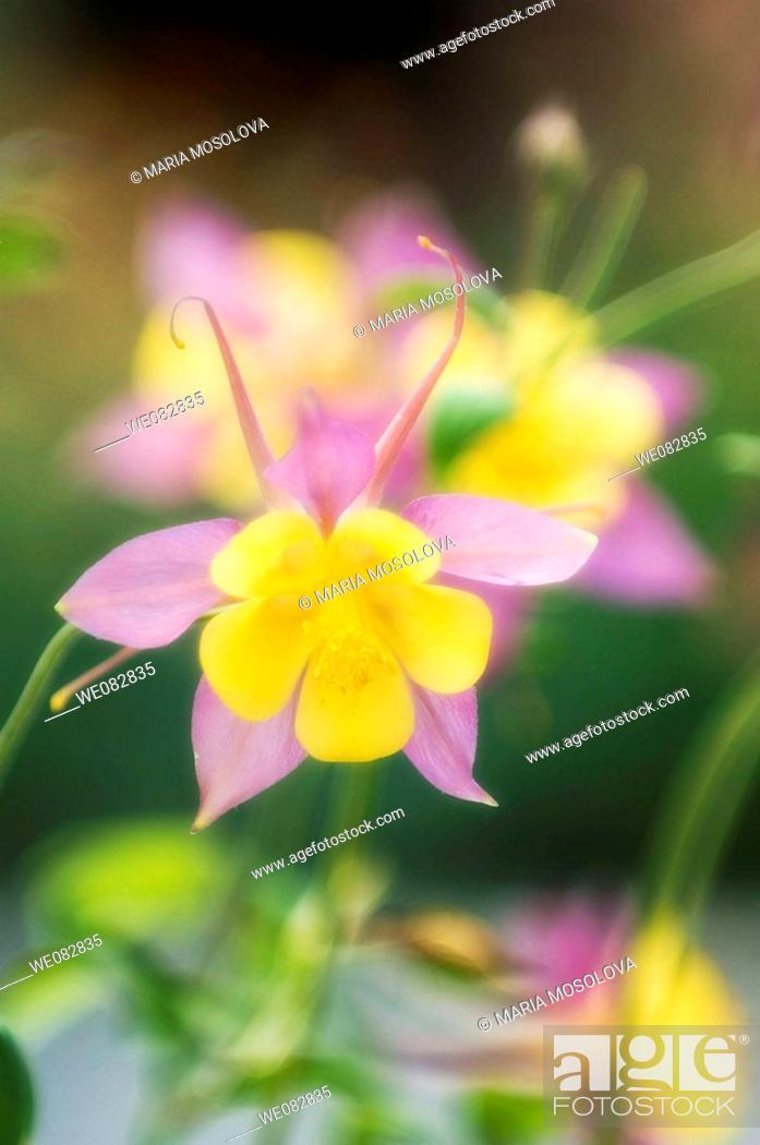 Stock Photo: Pink and Yellow Columbine Flowers.  Aquilegia caerulea. April 2008. Maryland, USA.