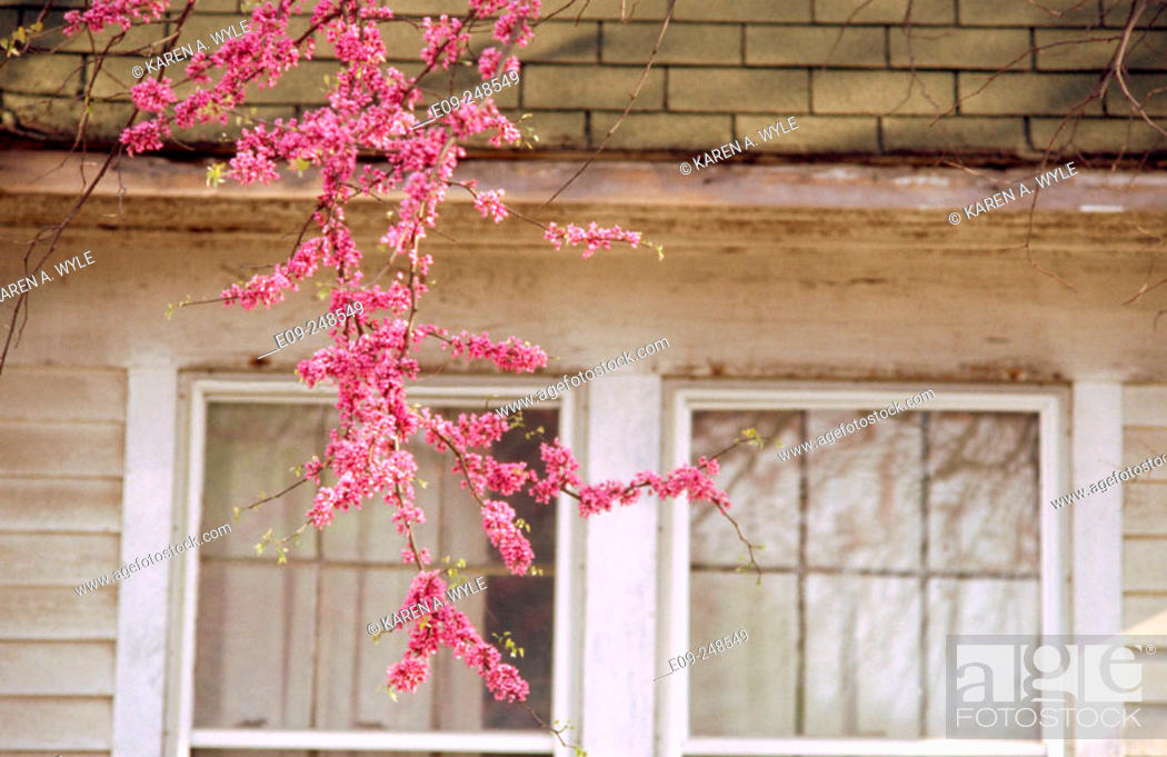 Imagen: Redbud branch (Cercis siliquastrum) hanging down in front of house, Bloomington, Indiana, USA.