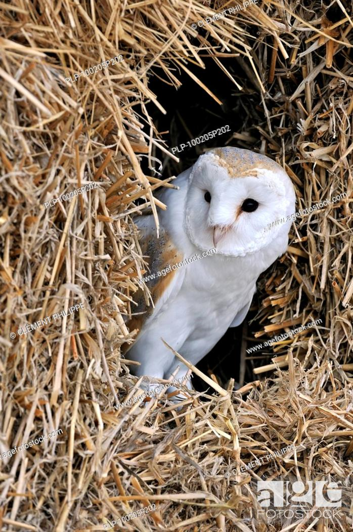 Stock Photo: Barn owl Tyto alba in haystack / straw bale in barn, England, UK.