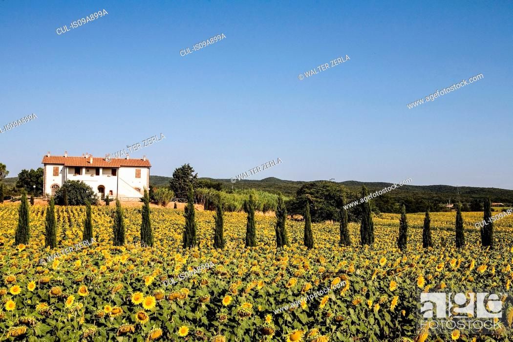 Stock Photo: Field of sunflowers in front of farmhouse, Tuscany, Italy.
