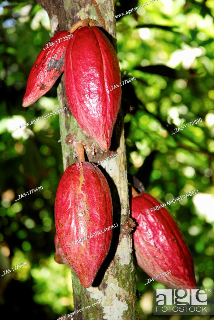 Stock Photo: Cacao fruit pod on tree in plantation in the eastern coast of Venezuela, probably the best cacao in the world.