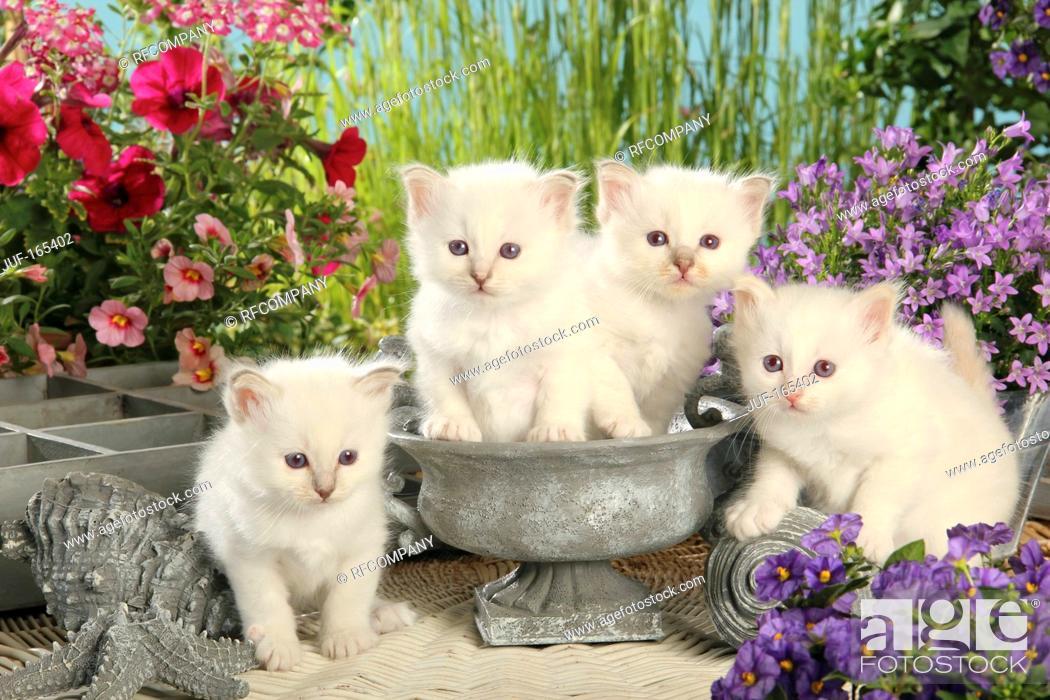 Imagen: Sacred cat of Burma - four kittens.