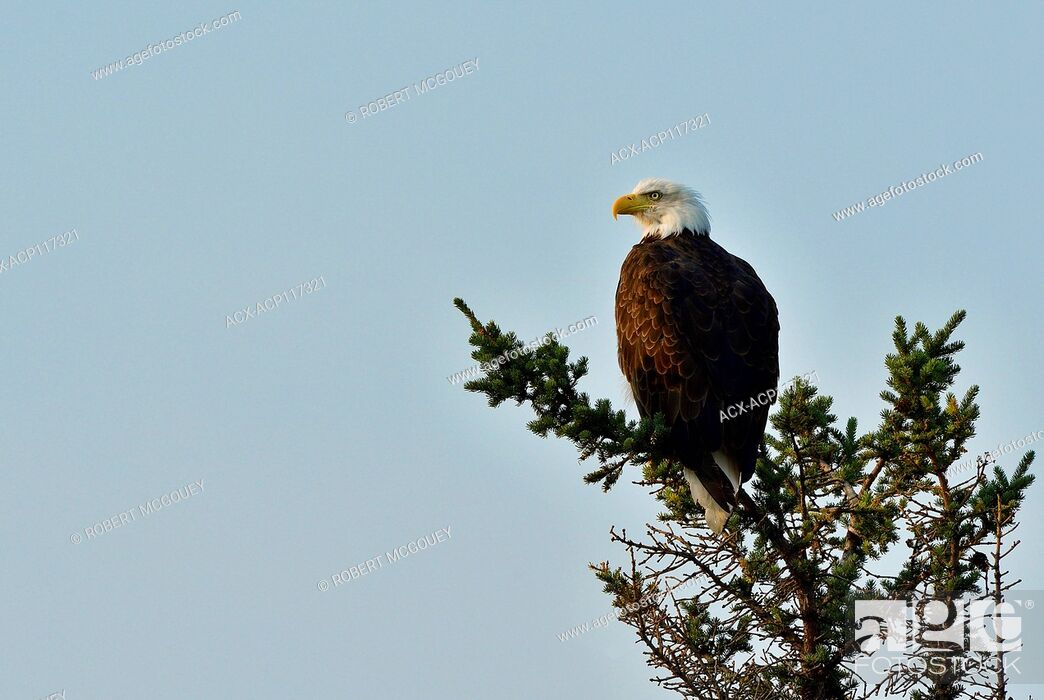 Imagen: A mature bald eagle ' Haliaeetus leucocephalus'; perched on the top of a spruce tree in Jasper National Park, Alberta Canada.