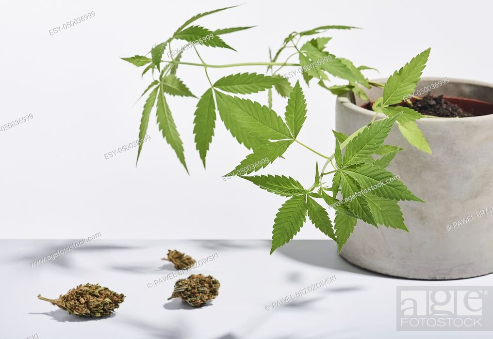 Imagen: Marijuana buds and marijuana bush isolated on white background. Studio shot.