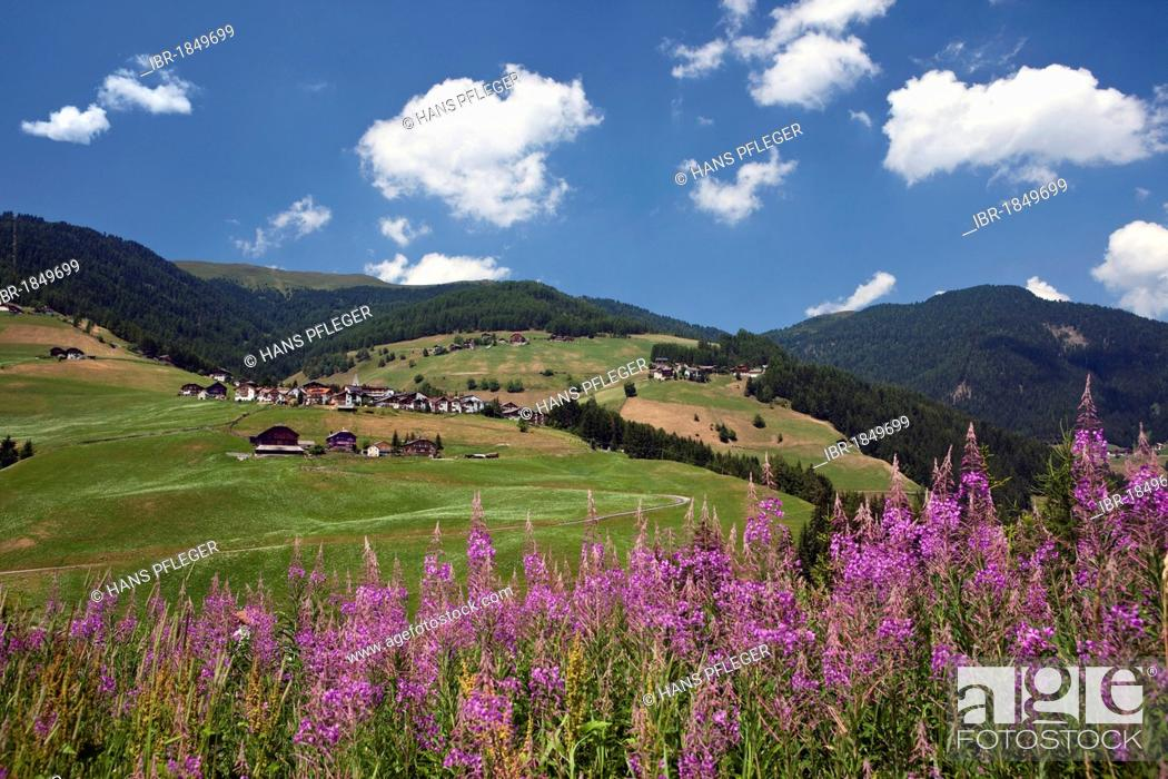 Stock Photo: Fireweed at Antermoia, Dolomites, South Tyrol, Italy, Europe.