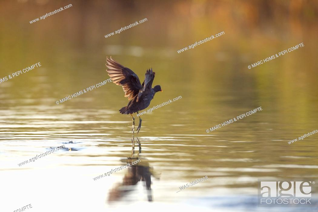 Stock Photo: Eurasian Coot starting fly into the river reflections at the mouth of the river Fluvià, Catalonia Spain.