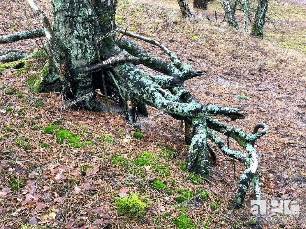 Imagen: Aerial roots in a pine tree forest, planted to stop a sand drift during the 19th century, Ystad, Sweden, Europe.