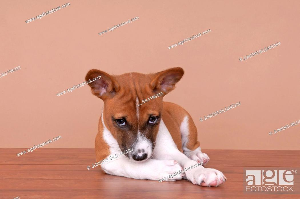 Stock Photo: Basenji. Puppy (8 weeks old) lying on wood parquet. Germany.