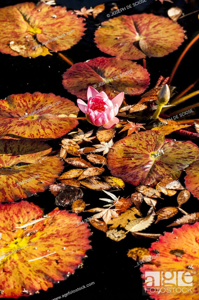 Stock Photo: A single water lily in bloom surrounded by lily pads in fall color on a pond of water.