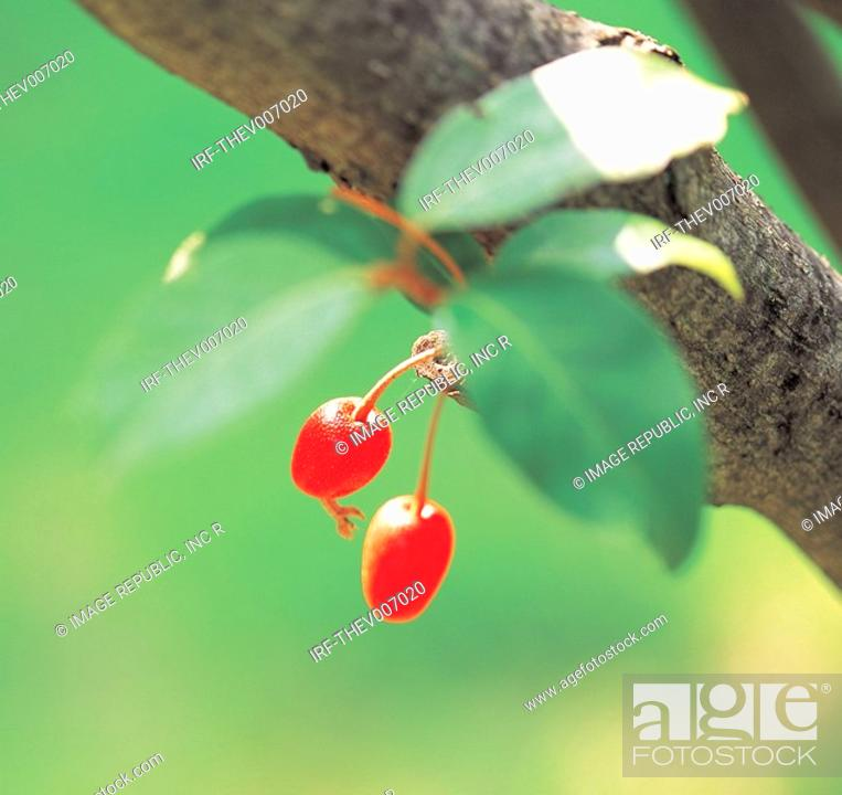 Stock Photo: Cornus officinalis fruits hung on the boughs.