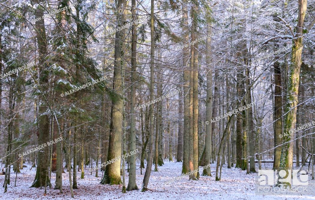 Stock Photo: Wintertime landscape of snowy deciduous stand with oak and hornbeam trees in foreground, Bialowieza Forest, Poland, Europe.