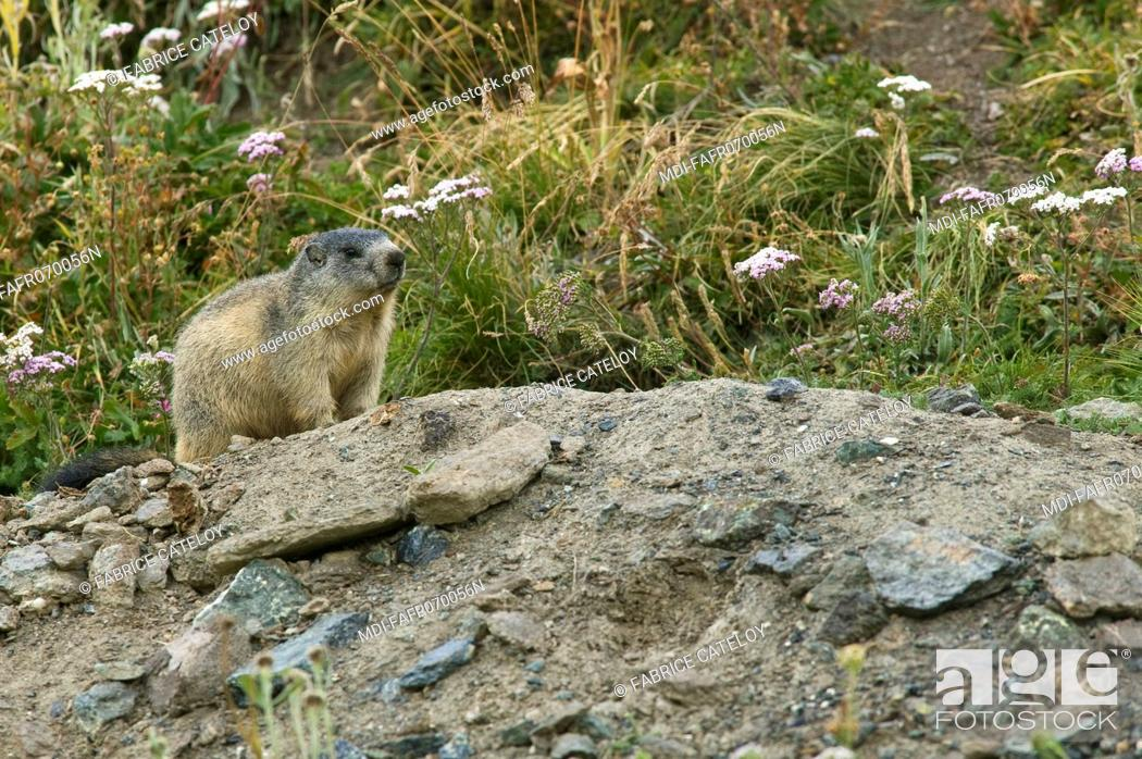 Stock Photo: Young marmot at the entry of its burrow in the natural regional park of Queyras.