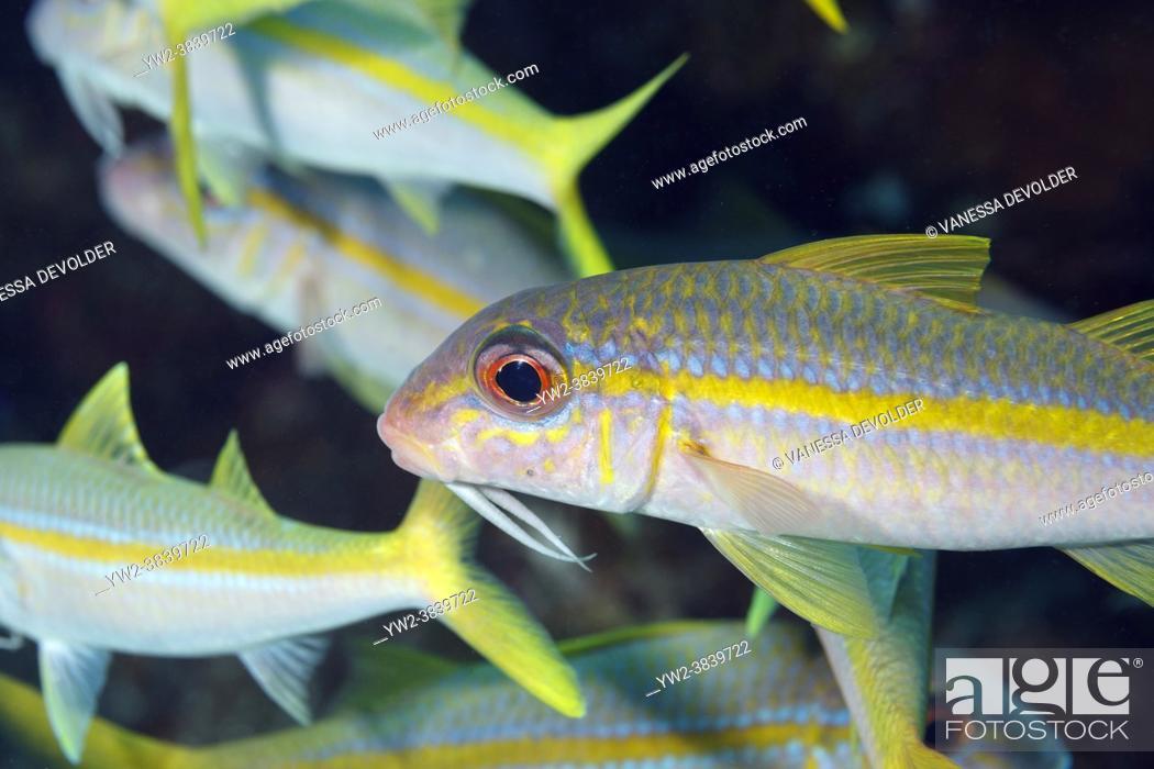 Stock Photo: Yello goatfishes in the Caribbean sea around Bonaire. Mulloidichthys martinicus.