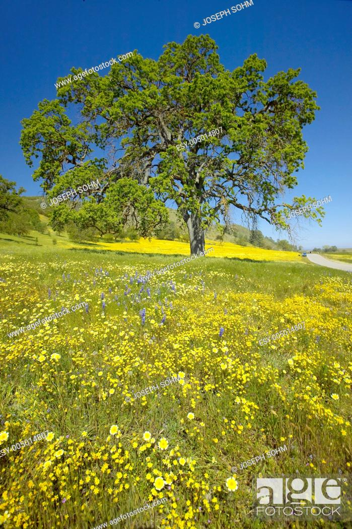 Stock Photo: Lone tree and colorful bouquet of spring flowers blossoming off Route 58 on Shell Creek road, West of Bakersfield in CA.