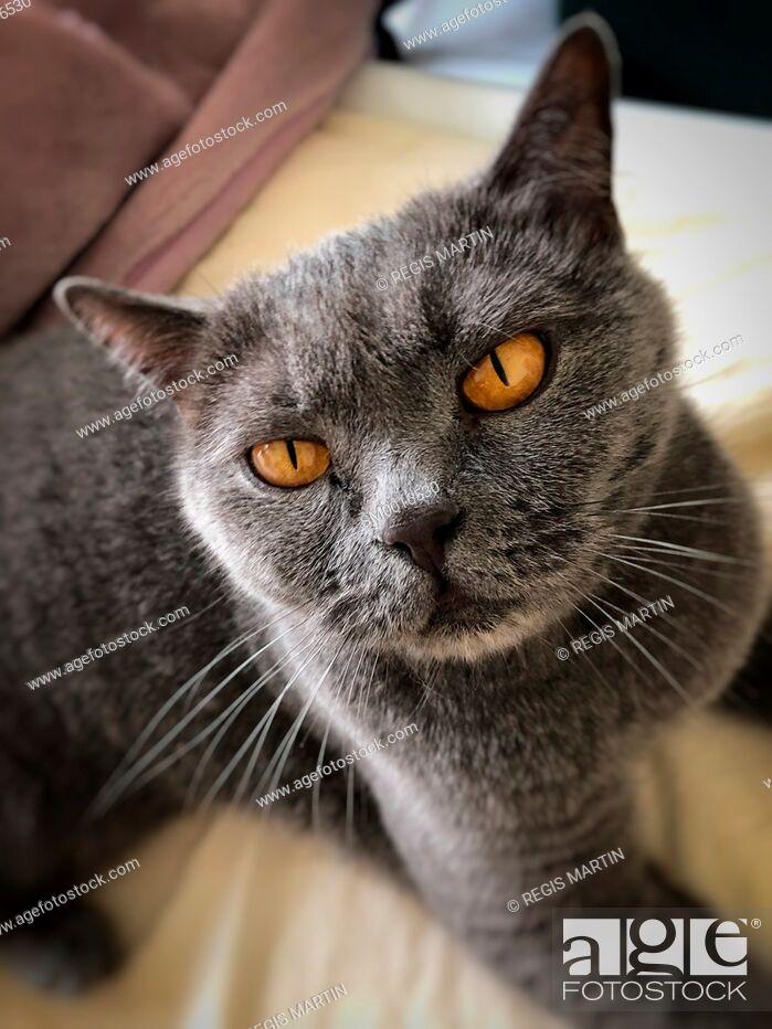 Stock Photo: British shorthair cat in the British blue colour.