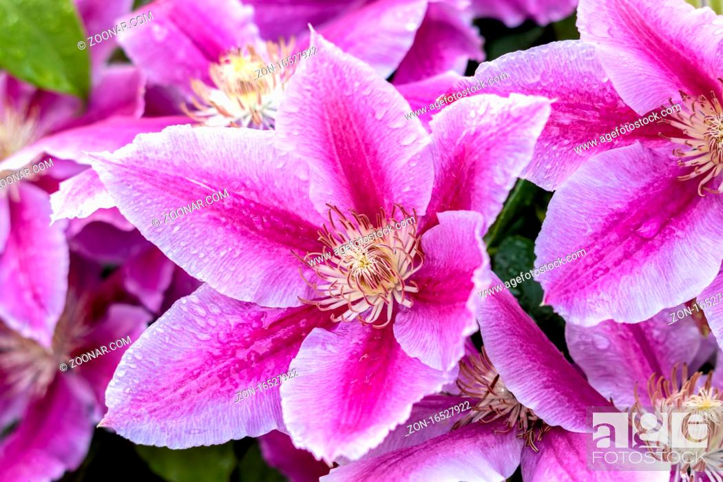 Stock Photo: Raindrops on a Pink Clematis blooming in an english garden.