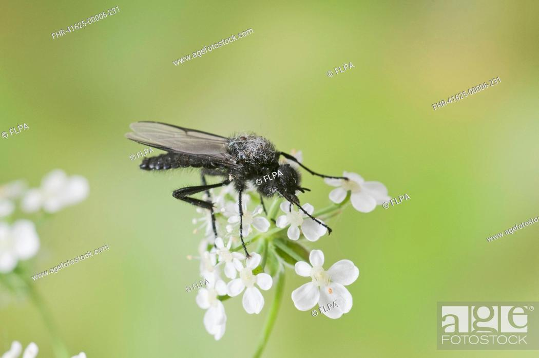 Stock Photo: St Marks Fly Bibio marci adult, resting on flowers, England, april.