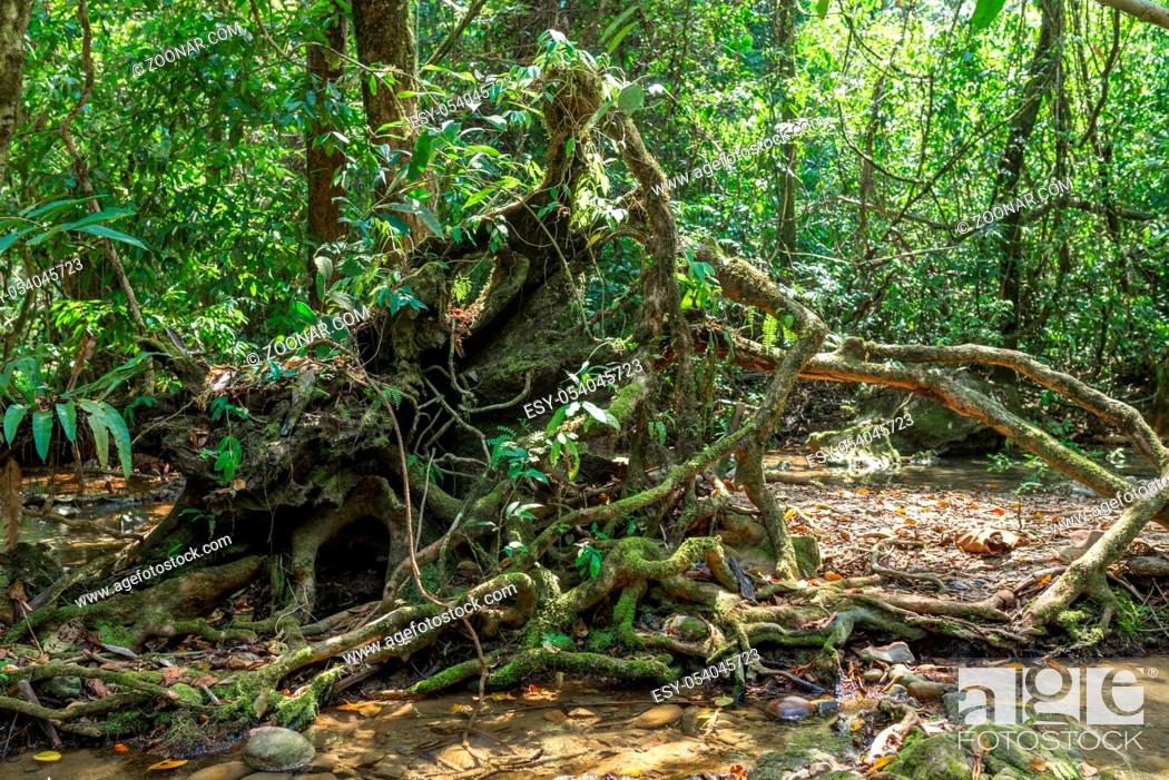 Stock Photo: Roots from a fallen tree on the way to the Nam Talu cave in the jungle of the national park Khao Sok in Thailand.