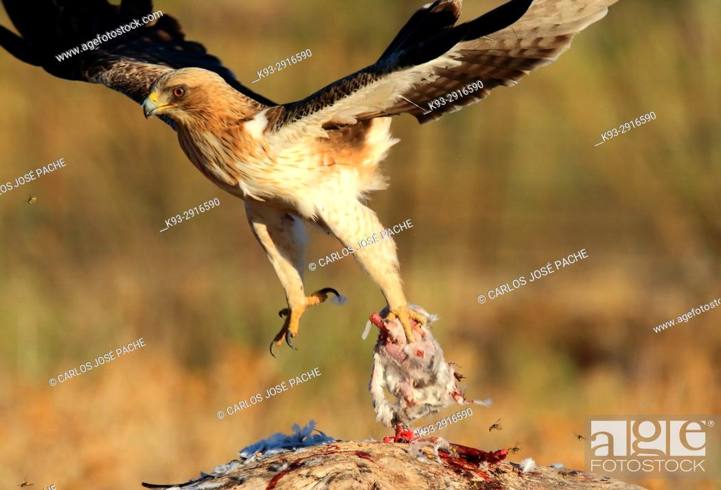 Stock Photo: Male Booted eagle (Hieraaetus pennatus) with prey at dawn. Monfrague National Park, Extremadura, Spain.