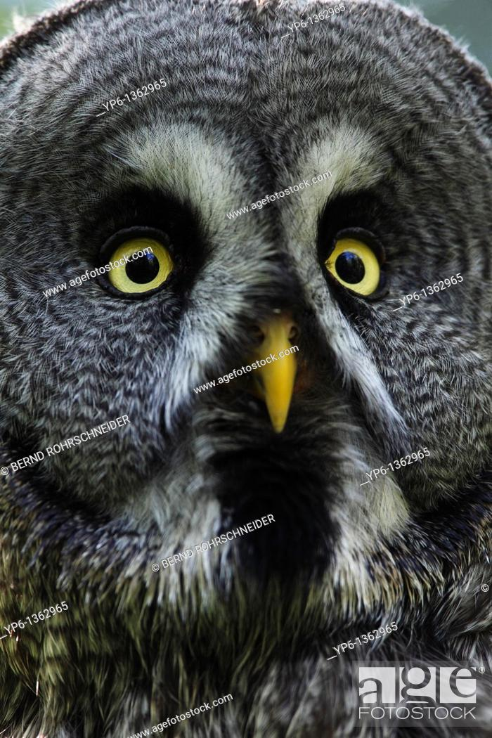 Stock Photo: portrait of a Great Grey Owl Strix nebulosa, Ranua Zoo, Finland.