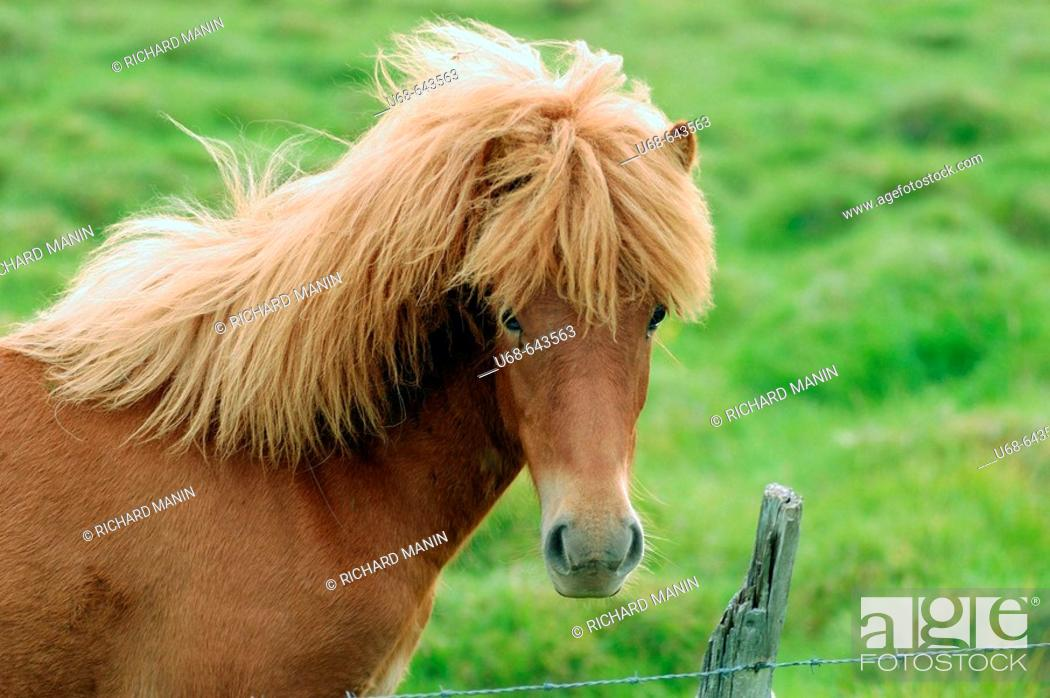 Stock Photo: Icelandic horse. Countryside near Höfn. Iceland.