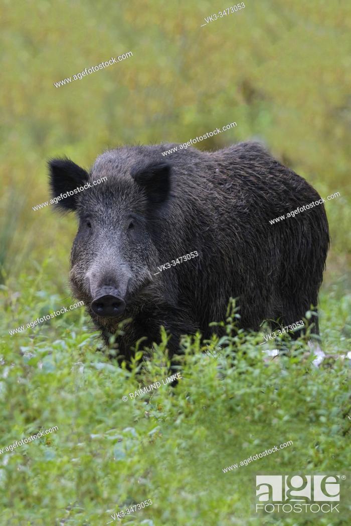 Imagen: Wild boar, Sus scrofa, Germany, Europe.