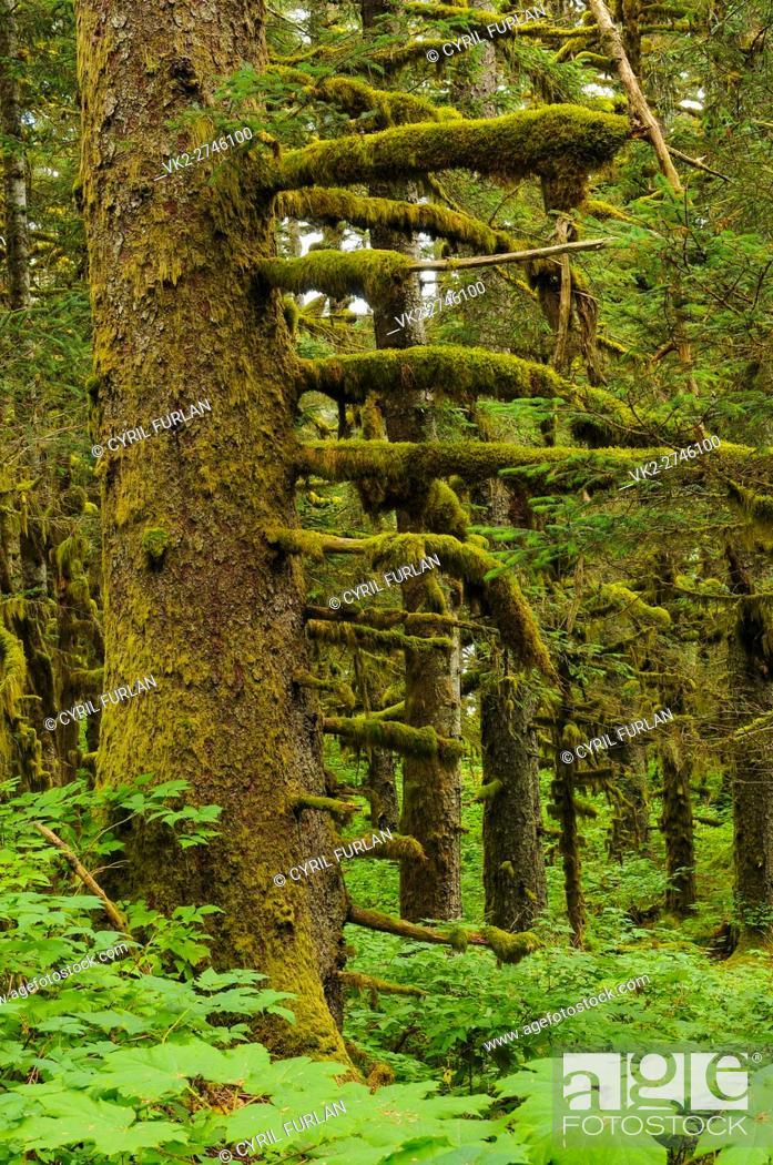 Stock Photo: Old Growth Pine Forest Kodiak Island Alaska.