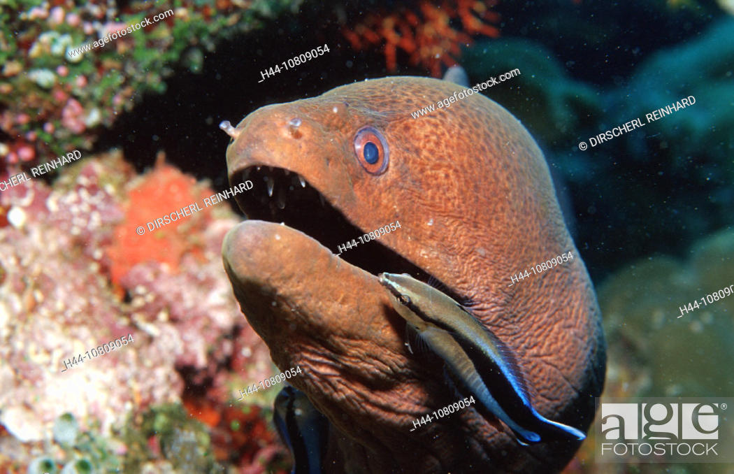Stock Photo: action, clean, Cleaner wrasse cleaning Yellow margined moray, cleaning, diving, Gymnothorax flavimarginatus, Head, h.
