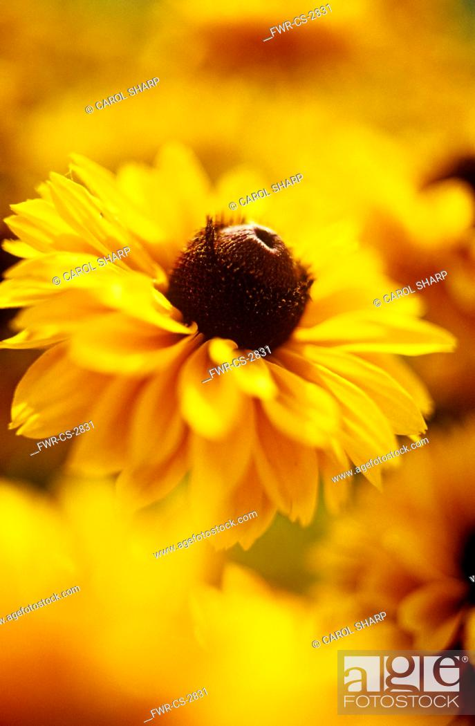 Stock Photo: Rudbeckia hirta 'Indian Summer', Coneflower, black-eyed Susan.