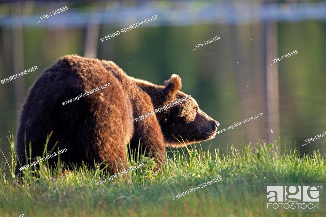 Stock Photo: Brown Bear Ursus arctos standing on meadow at lakeshore, Finland.