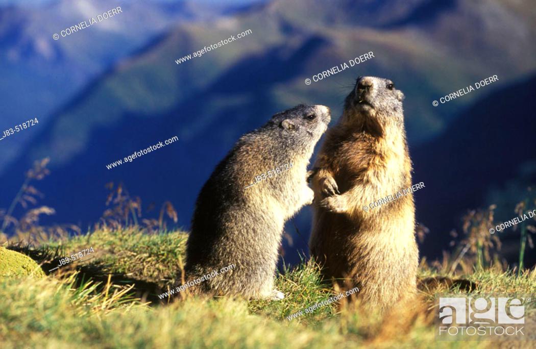 Stock Photo: Marmot (Marmota marmota) Nationalpark Hohe Tauern,  Austria.