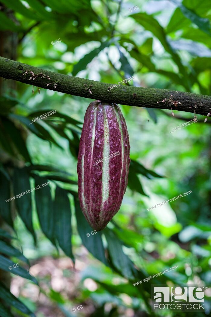 Stock Photo: Cacao growing on tree.