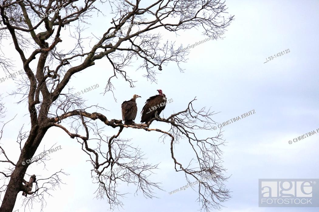Stock Photo: Hooded Vultures Necrosyrtes monachus, Masai Mara National Reserve, Kenya.