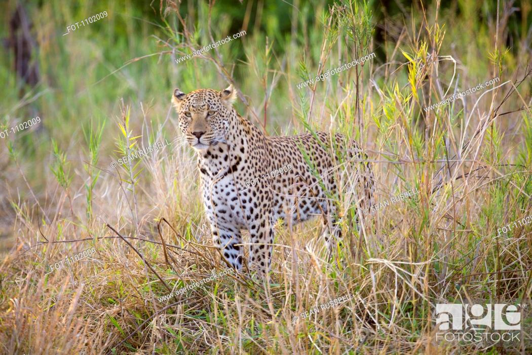 Stock Photo: A leopard standing alertly in grass.
