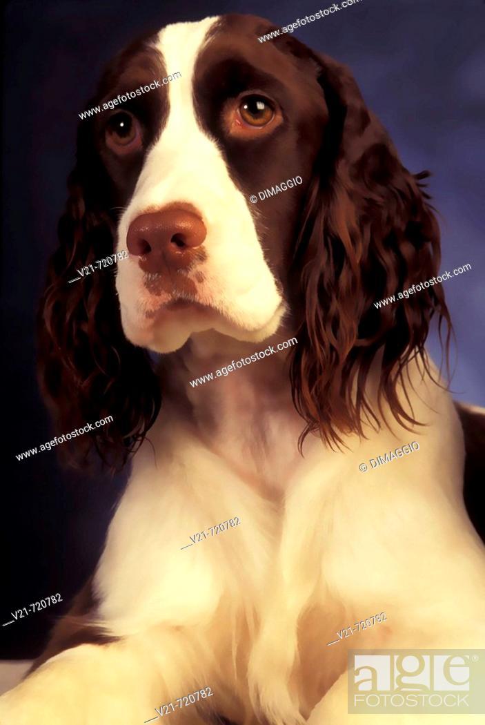 Stock Photo: English Springer Spaniel.