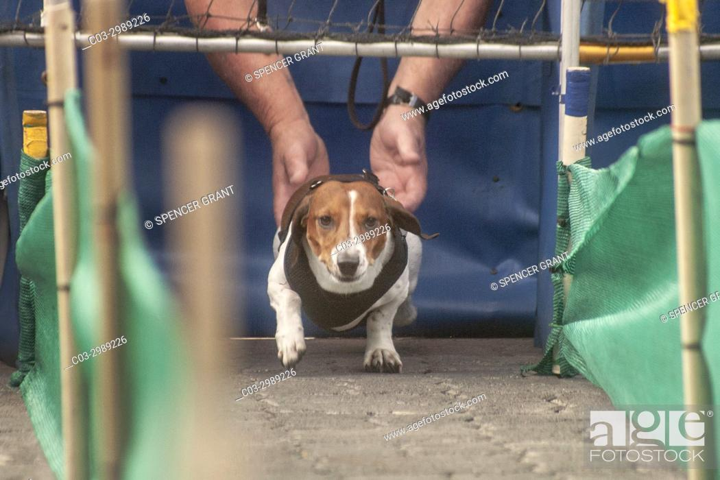 Stock Photo: Held by his owner, a dachshund dog prepares to run a race at an Oktoberfest gathering at German ethnic Old World Village in Huntington Beach, CA.