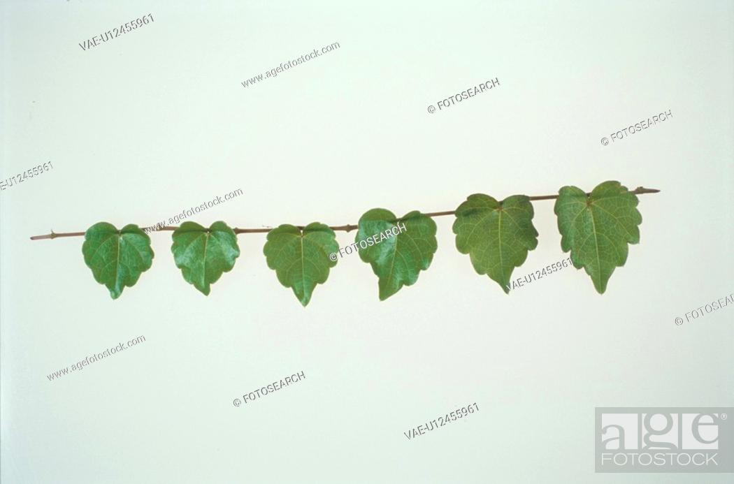 Stock Photo: The Leaf Of Ivy.