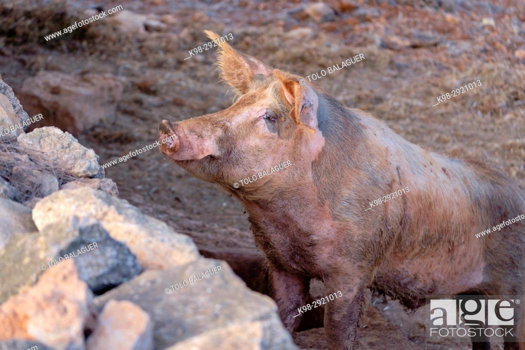Stock Photo: Domestic pig (Sus scrofa domestica), Sant Carles de Peralta, Ibiza, Balearic Islands, Spain.