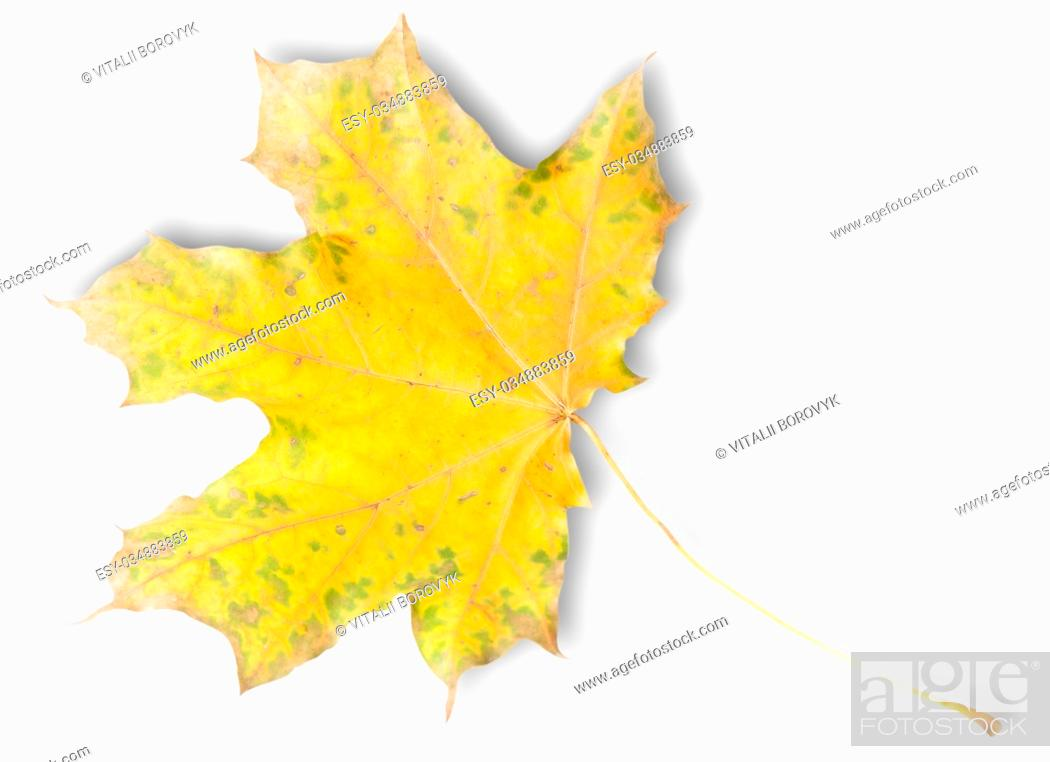 Stock Photo: Yellow Autumn Maple Leaf With Green Spots Isolated On White Background.