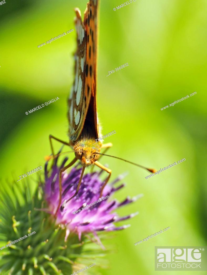 Photo de stock: Silver washed fritillary butterfly (Agynnis paphia). Summer time at Montseny Natural Park. Barcelona province, Catalonia, Spain.