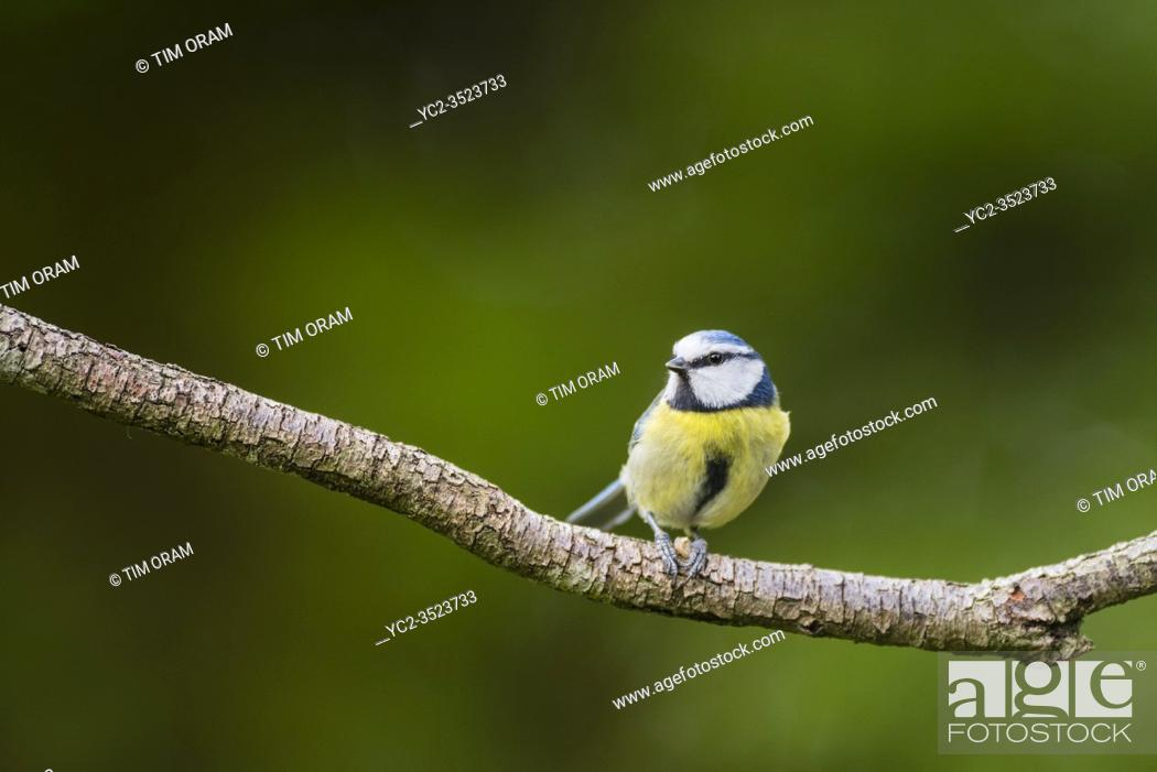 Stock Photo: A Blue Tit (Parus caeruleus) in the uk.