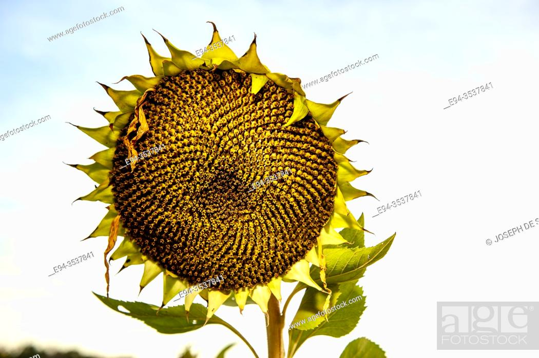 Stock Photo: A single mature sunflower head against a white sky.