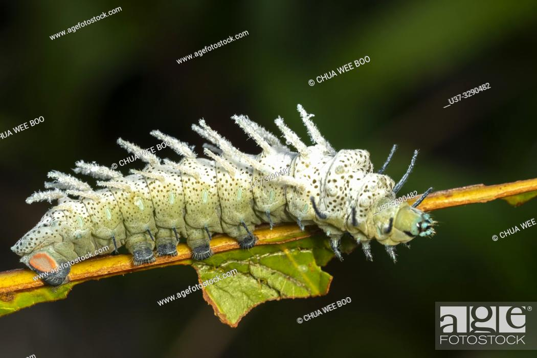 Stock Photo: Caterpillar found at Kampung Apar, Sarawak, Malaysia.