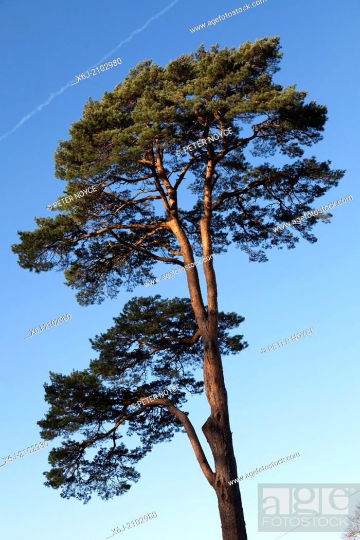 Stock Photo: Tall Scots pine (Pinus sylvestris) tree sunlit against blue sky.