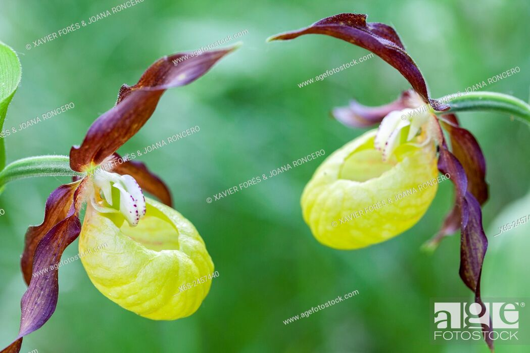 Imagen: Lady's-slipper orchid - Cypripedium Calceolus -, Parc Naturel de la Chartreuse, Savoie, Rhône-Alpes, France.