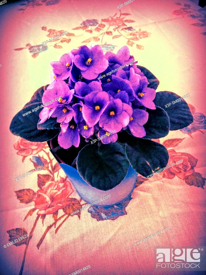 Stock Photo: African violet.