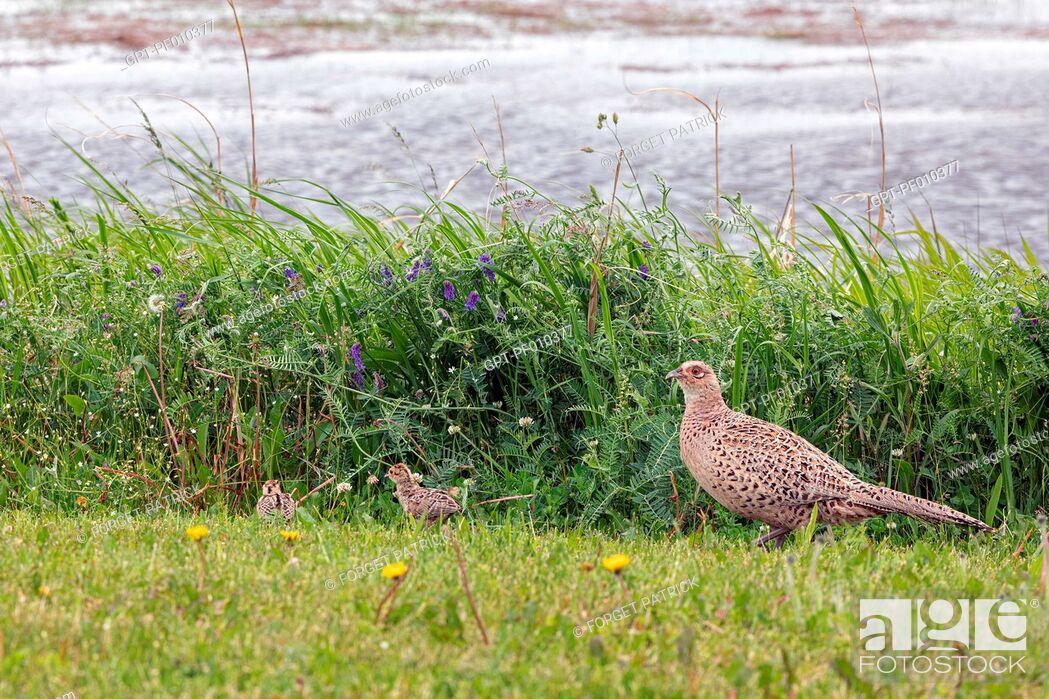 Stock Photo: PHEASANT HEN WITH ITS YOUNG ON THE SEASHORE, BRITTANY, FRANCE.
