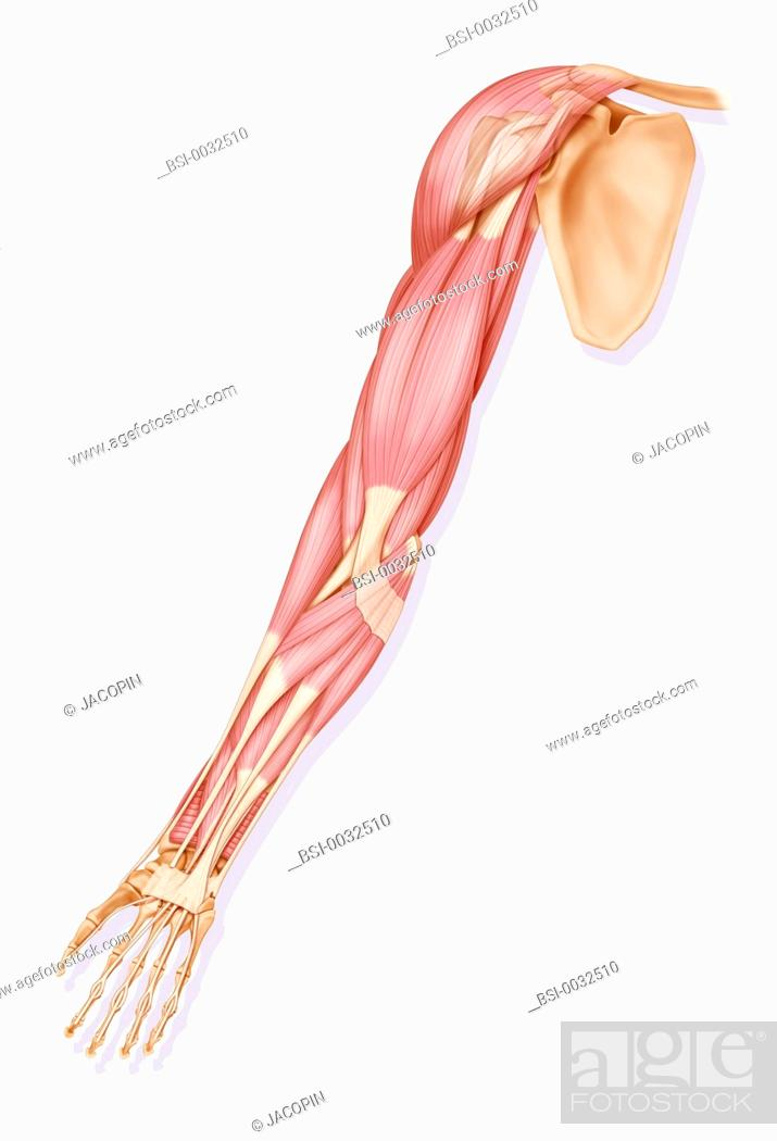 The Muscles Of The Right Upper Limb Anterior View Stock Photo