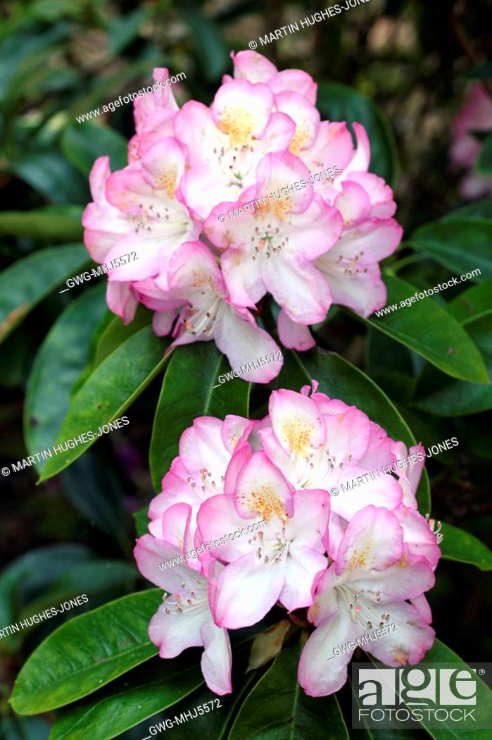 Stock Photo Rhododendron Gomer Waterer Agm Is More Strongly Coloured When Growing In